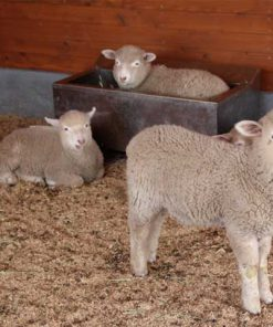 Healthy Lamb Supplement
