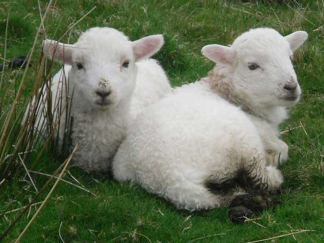 Organic supplement for Lambs