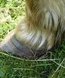 Affected feather on horse with mites